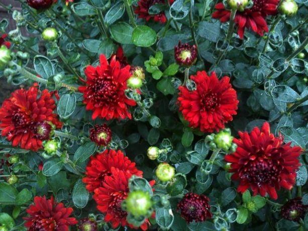 Cveće U Jesen Tržnica Subotica